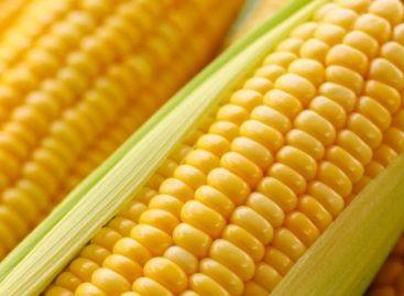 Maïs kan 13% omhoog
